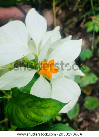 A very beautiful flower with two colors Royalty-Free Stock Photo #2030198684