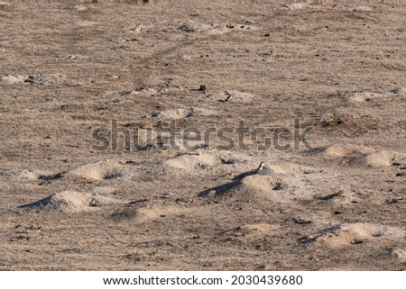 A colony of gophers at their burrows. Ground squirrels and burrows in the ground.