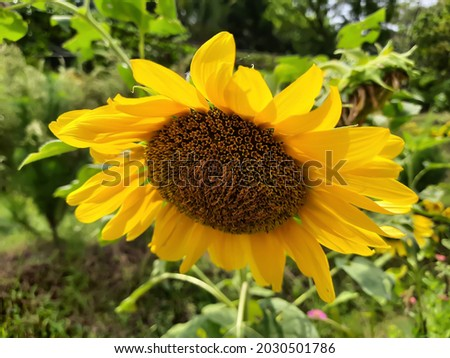 sunflower high res stock image