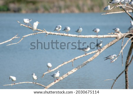 many kittiwakes perched on tree branches on a wetland lake, some flapping their wings. A multitude of waterfowl Royalty-Free Stock Photo #2030675114