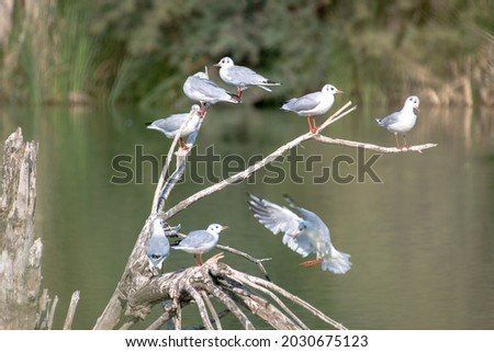 many kittiwakes perched on tree branches on a wetland lake, some flapping their wings. A multitude of waterfowl Royalty-Free Stock Photo #2030675123