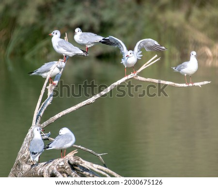 many kittiwakes perched on tree branches on a wetland lake, some flapping their wings. A multitude of waterfowl Royalty-Free Stock Photo #2030675126