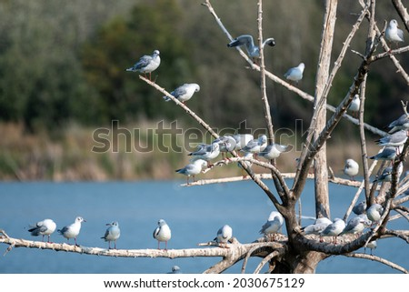 many kittiwakes perched on tree branches on a wetland lake, some flapping their wings. A multitude of waterfowl Royalty-Free Stock Photo #2030675129