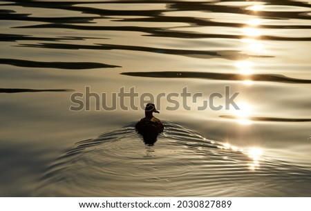 The silhouette of duck in a water at the sunset. High quality photo Royalty-Free Stock Photo #2030827889