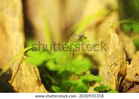 Side view of Bladder snails (Physa acuta) freshwater invertebrates commonly found in pond  Royalty-Free Stock Photo #2030935358