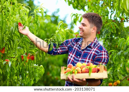 young man harvesting peaches in fruit garden #203138071