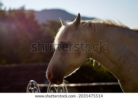 the most beautiful white horse shows his temperament and beauty on summer sunset on dreamy meadow in golden hour. High quality photo Royalty-Free Stock Photo #2031475514