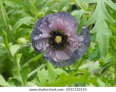 Poppy flower named Amazing grey
