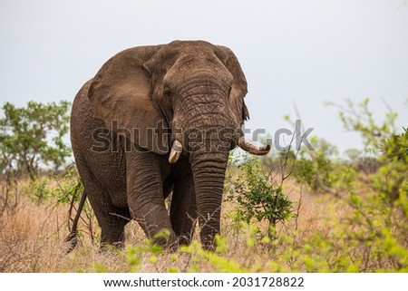 African elephant bull with big tusks eating alongside the road in the Kruger Park, South Africa Royalty-Free Stock Photo #2031728822