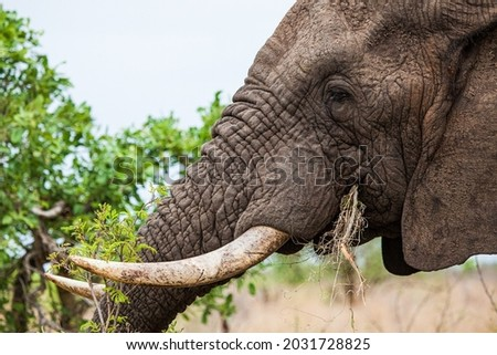 African elephant bull with big tusks eating alongside the road in the Kruger Park, South Africa Royalty-Free Stock Photo #2031728825