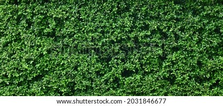 green leaf of Banyan Tree ( Ficus annulata Blume ), Shrubs for decorating the garden Royalty-Free Stock Photo #2031846677