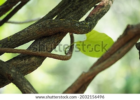 Ornamental plant Kirkazon Manchu. Green-leaved woody vine. High quality photo Royalty-Free Stock Photo #2032156496