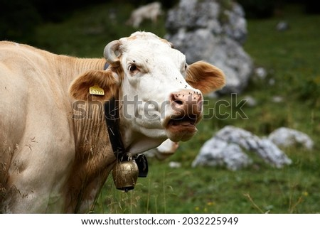 Close up of a brown and white cow on a green alpine meadow. High quality photo Royalty-Free Stock Photo #2032225949