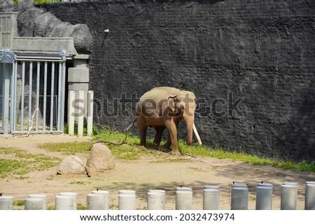 The Indian elephant (Elephas maximus indicus) Royalty-Free Stock Photo #2032473974