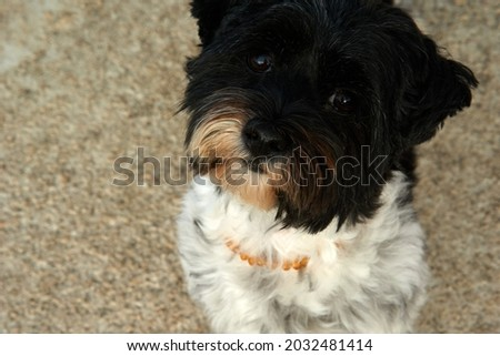 Miniature schnauzer dog with adorable brown eyes, posing. High quality photo Royalty-Free Stock Photo #2032481414