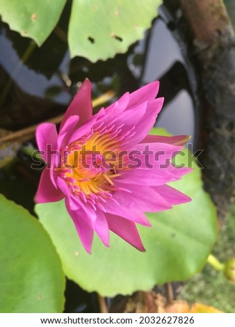 A Picture of beautiful pink lotus flower in a pond in the garden