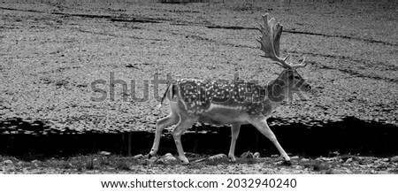 The fallow deer (Dama dama) is a ruminant mammal belonging to the family Cervidae. This common species is native to western Eurasia Royalty-Free Stock Photo #2032940240