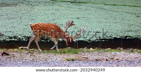 The fallow deer (Dama dama) is a ruminant mammal belonging to the family Cervidae. This common species is native to western Eurasia Royalty-Free Stock Photo #2032940249