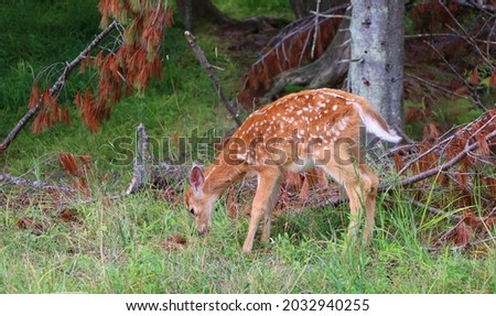 The fallow deer (Dama dama) is a ruminant mammal belonging to the family Cervidae. This common species is native to western Eurasia Royalty-Free Stock Photo #2032940255