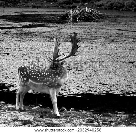 The fallow deer (Dama dama) is a ruminant mammal belonging to the family Cervidae. This common species is native to western Eurasia Royalty-Free Stock Photo #2032940258