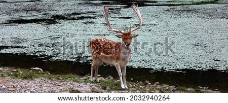 The fallow deer (Dama dama) is a ruminant mammal belonging to the family Cervidae. This common species is native to western Eurasia Royalty-Free Stock Photo #2032940264