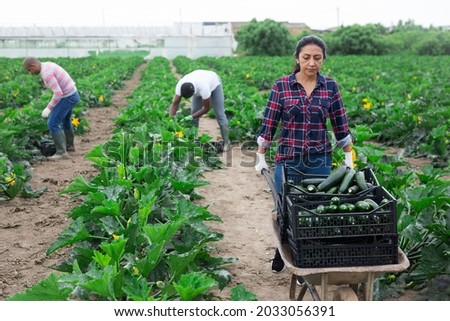 Focused peruvian woman working on farm field, carrying handcart with freshly picked organic zucchini. Harvest time Royalty-Free Stock Photo #2033056391