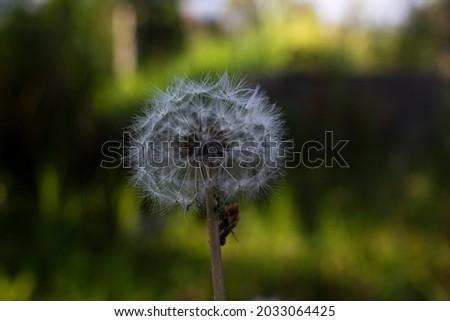 Dandelion. pictures of dandelions in a park
