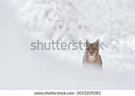 Lynx, winter wildlife. Cute big cat in habitat, cold condition. Snowy forest with beautiful animal wild lynx, Poland. Eurasian Lynx nature running, wild cat in the forest with snow.  Royalty-Free Stock Photo #2033209283