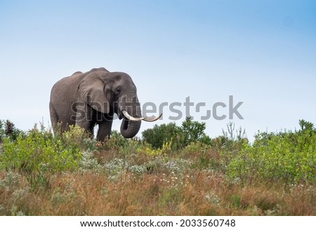 Big elephant bull with large tusks stands on a hill Royalty-Free Stock Photo #2033560748