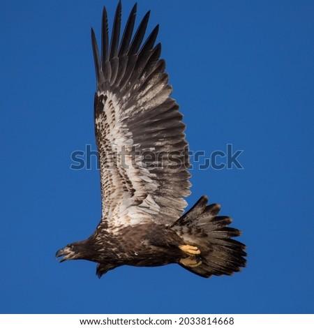 Juvenile Bald Eagle in flight Royalty-Free Stock Photo #2033814668