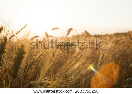 backdrop of ripening ears of yellow wheat field on the sunset cloudy orange sky background Copy space of the setting sun rays on horizon in rural meadow Close up nature photo Idea of a rich harvest