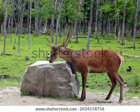 Red deer are ruminants, characterized by a four-chambered stomach. Genetic evidence indicates the red deer as traditionally defined is a species group,  Royalty-Free Stock Photo #2034158756