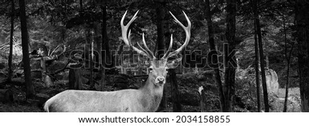 Red deer are ruminants, characterized by a four-chambered stomach. Genetic evidence indicates the red deer as traditionally defined is a species group,  Royalty-Free Stock Photo #2034158855