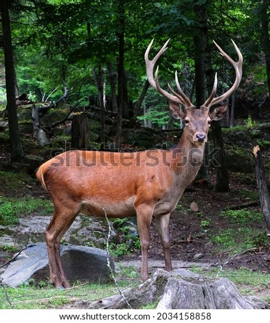 Red deer are ruminants, characterized by a four-chambered stomach. Genetic evidence indicates the red deer as traditionally defined is a species group,  Royalty-Free Stock Photo #2034158858