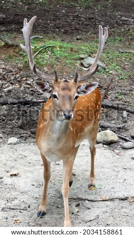 The fallow deer (Dama dama) is a ruminant mammal belonging to the family Cervidae. This common species is native to western Eurasia Royalty-Free Stock Photo #2034158861