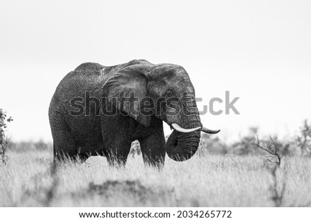 African elephant bull with big tusks eating alongside the road in the Kruger Park, South Africa Royalty-Free Stock Photo #2034265772