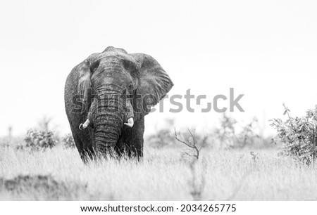 African elephant bull with big tusks eating alongside the road in the Kruger Park, South Africa Royalty-Free Stock Photo #2034265775
