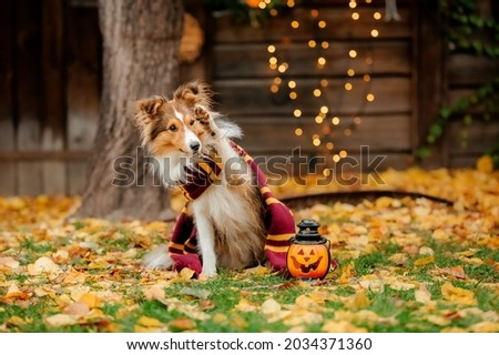 Dog in scarf with pumpkin. Halloween. Autumn Hollidays and celebration.