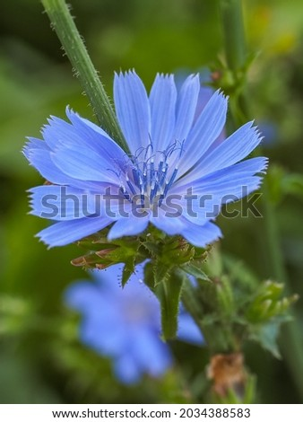 Chicory flower, close up. Violet Cichorium intybus blossom, called as blue sailors, chicory, coffee weed, or succory is a somewhat woody, herbaceous perennial plant of the dandelion family Asteraceae. Royalty-Free Stock Photo #2034388583