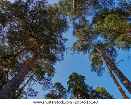 View up or bottom view of pine trees in forest in sunshine. Royalty high-quality free stock photo image scenic view of big and tall pine tree with sun light in the forest when looking up blue sky