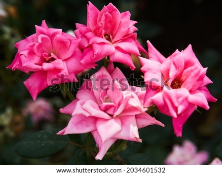 Pink rose flower with green leaves on a blurry dark background. Beautiful blooming of a bright pink rose in a summer garden on a sunny day. High quality photo Royalty-Free Stock Photo #2034601532