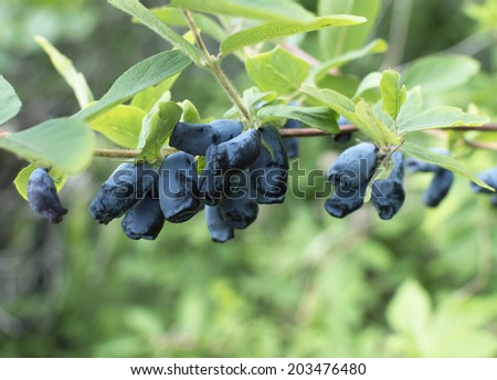 Honeysuckle branch with blue ripe berries #203476480