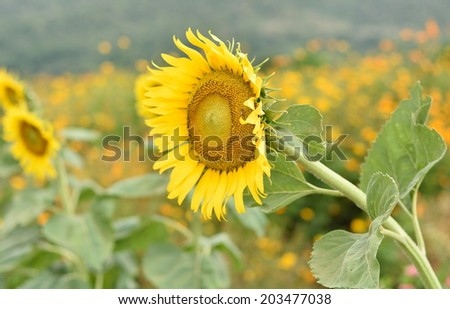 Sunflowers, tropical flowers haemophilia I planted a beautiful year round. Oil seed crops #203477038