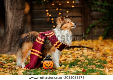 Dog in Halloween with pumpkin. Autumn  Hollidays and celebration.