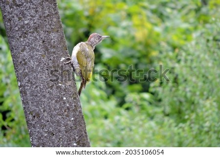 The juvenile European green woodpecker sitting on a concrete pylon, green blurred trees in the background Royalty-Free Stock Photo #2035106054