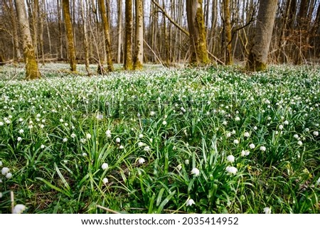 Beautiful blooming early spring snowflake flowers leucojum vernum in a spring forest. Forest floor covered by spring snowflakes German Maerzenbecher, lat. Leucojum vernum Royalty-Free Stock Photo #2035414952
