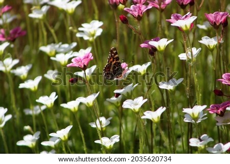Braun butterfly with closed wings on a white flower. High quality photo.. Selective focus Royalty-Free Stock Photo #2035620734
