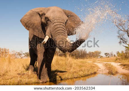 Elephant spraying water with his trunk #203562334