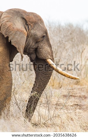 African elephant bull with big tusks eating alongside the road in the Kruger Park, South Africa Royalty-Free Stock Photo #2035638626