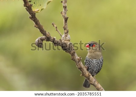 A small brown finch like bird with fine black barring and a distinctive a bright-red bill, ear-spot and rump, known as the Red-eared Firetail (Stagonopleura oculata) Royalty-Free Stock Photo #2035785551